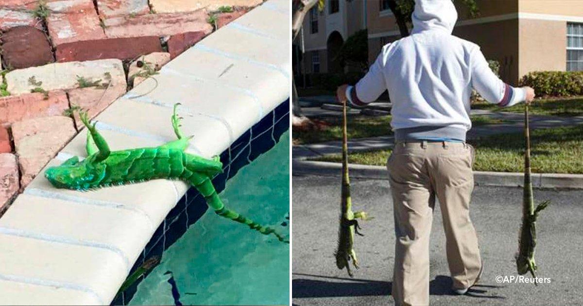 cover 5 - Las iguanas se congelan por el frío y caen de los árboles en Florida