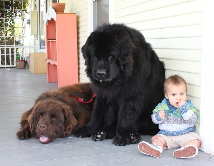 Image result for Tegan is a toddler, who shares an adorable relationship with his Newfoundland, Ralphie.