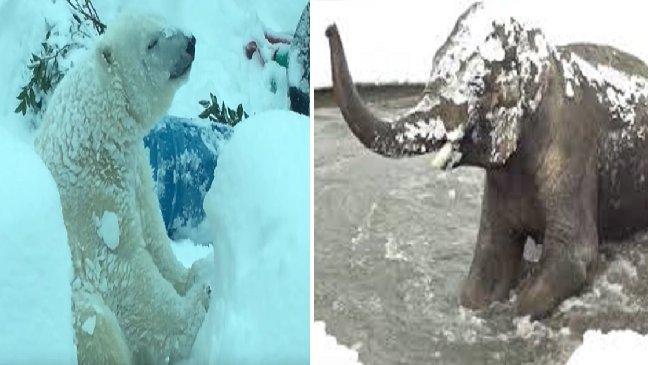 ec8db8eb84ac12 6 - [Vidéo] Les animaux de ce zoo se plaisent dans la neige!