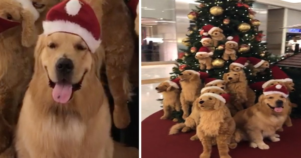 ec8db8eb84ac17.jpg?resize=300,169 - Golden Retriever Hides In a Mall's Christmas Tree Display of Stuffed Goldies And Does A Good Job Of Blending In