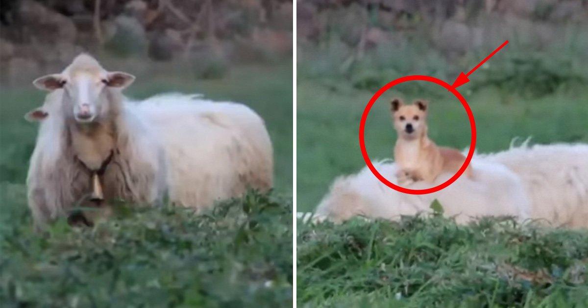 ec8db8eb84ac4 1.jpg?resize=1200,630 - Cão de guarda usa método inovador para cuidar de um rebanho de ovelhas, o vídeo com certeza te fará rir!