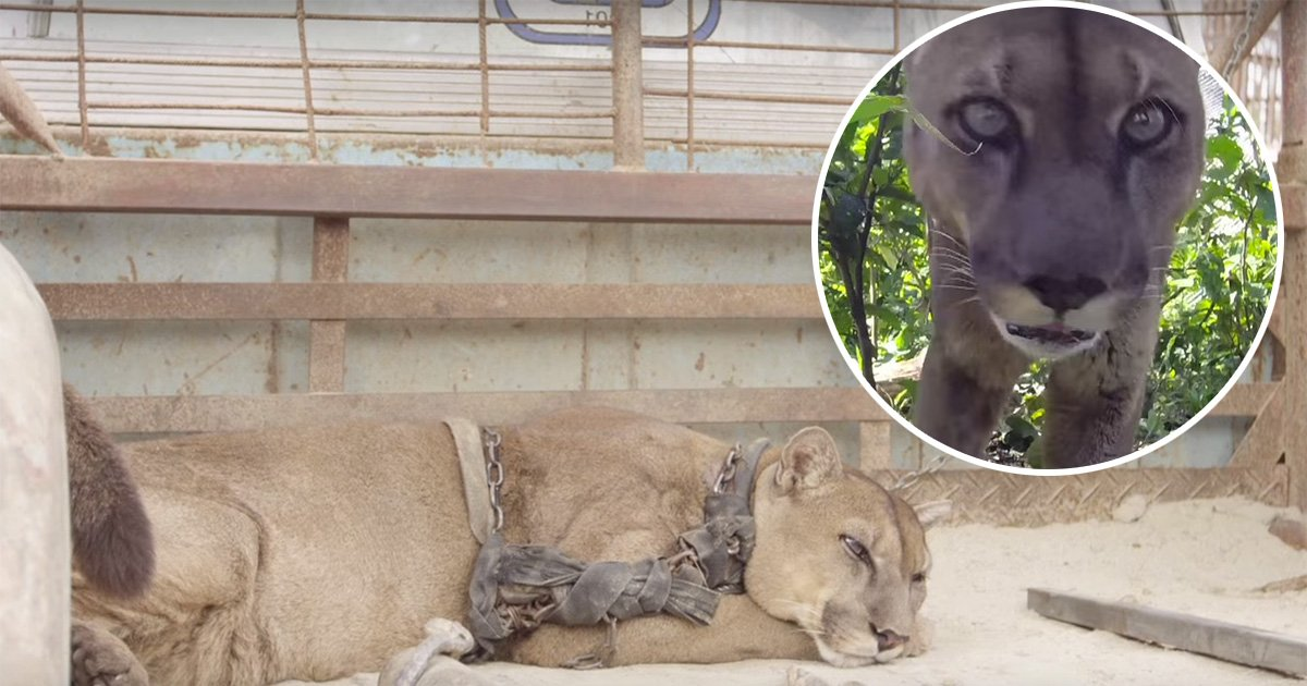 ec8db8eb84ac7 3 - This Mountain Lion From the Circus Was Chained Up for years, Had Heartbreaking Reaction When He's Finally Freed