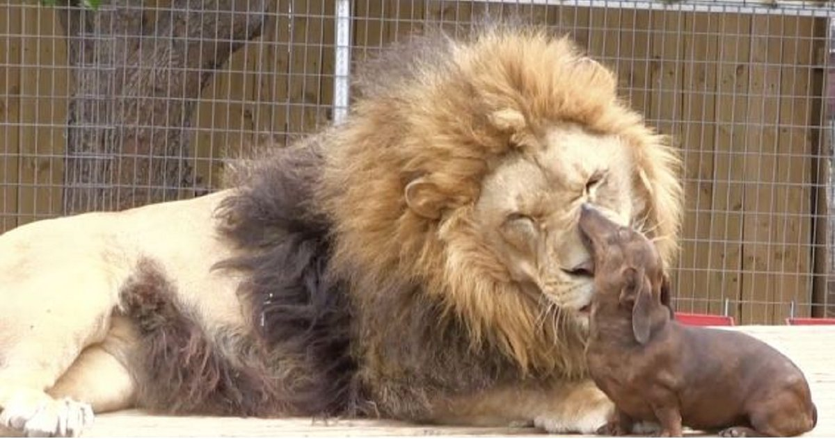 eca09cebaaa9 ec9786ec9d8c 15.png?resize=300,169 - Huge Lion and Tiny Dachshund Face Each Other. The Hilarious Encounter Goes Viral
