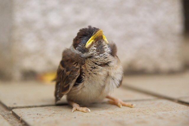 野生の雀 ヒナ 保護에 대한 이미지 검색결과