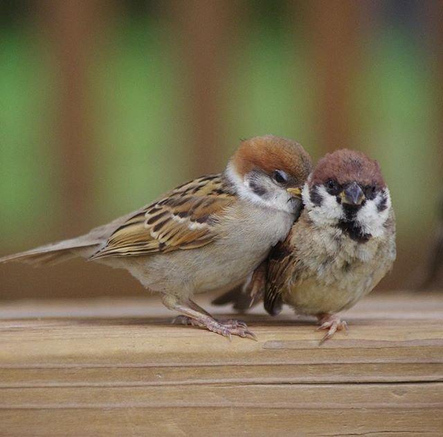 野生の雀 の飼い方에 대한 이미지 검색결과