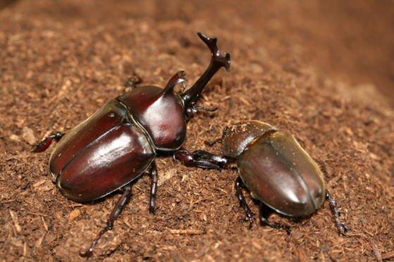 カブトムシ 成虫에 대한 이미지 검색결과