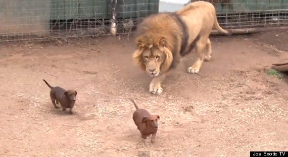 Image result for Huge Lion and Tiny Dachshund Face Each Other