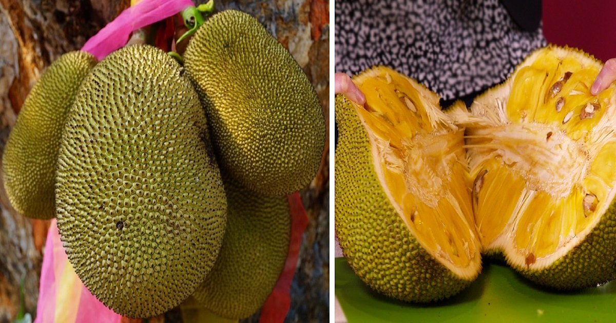 jackfruit3 1.jpg?resize=412,232 - Exotic Fruit Called 'Jackfruit' Could Save Millions From Hunger! It Tastes Just Like Meat