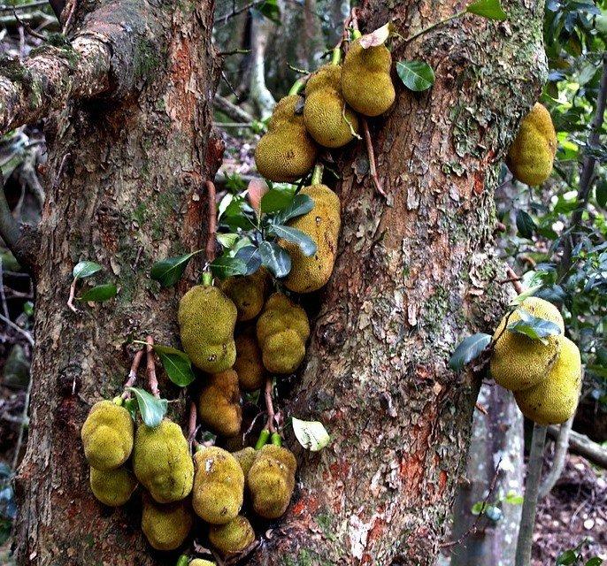 jackfruit5