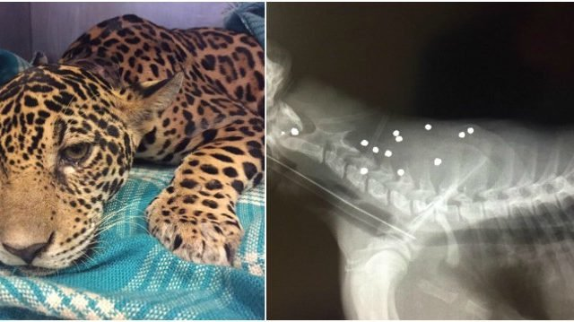 jaguar.jpg?resize=412,232 - Baby Jaguar With 18 Bullets Inside Her is Rescued