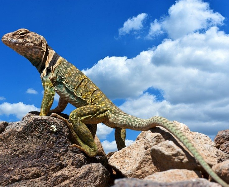 lizard3