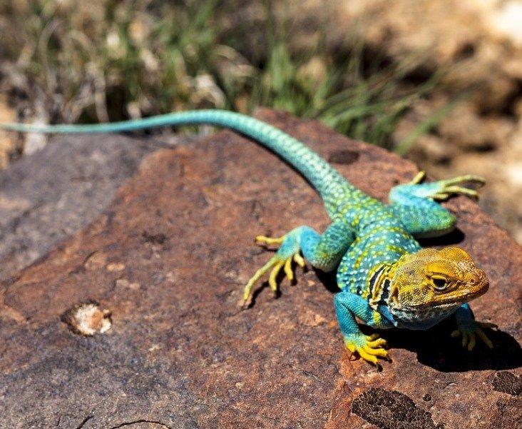 lizard4