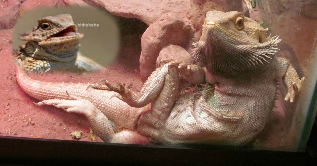 lizarddddddddd.jpg?resize=412,232 - Father Rubbed Pet Lizard's 'Foot' Because He Thought He Was Sick, Vet Told The Family That Wasn't A Foot