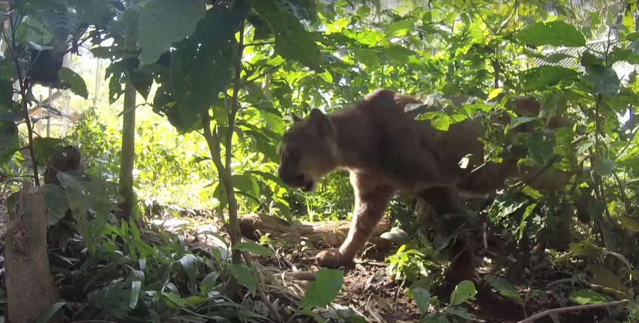 mufasa-the-mountain-lion-3