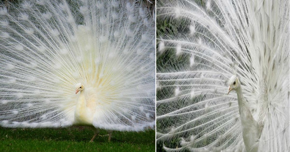 peacock thumbnail.png?resize=1200,630 - Stunning Peacock Looks Around, Then Amazes People When It Opens Its Plumage