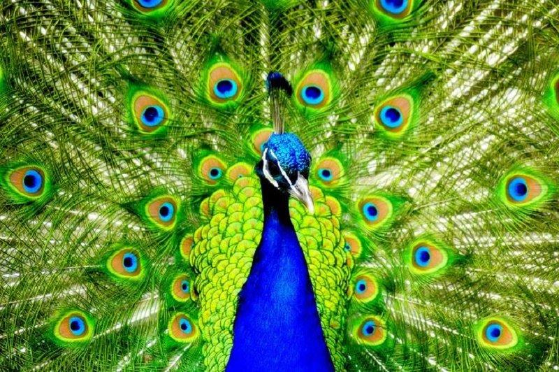 peacock7