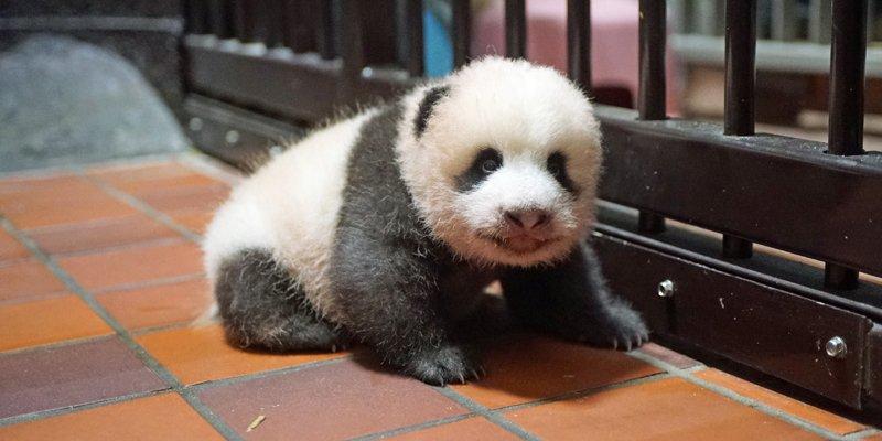 Image result for ジャイアントパンダの赤ちゃんシャンシャン