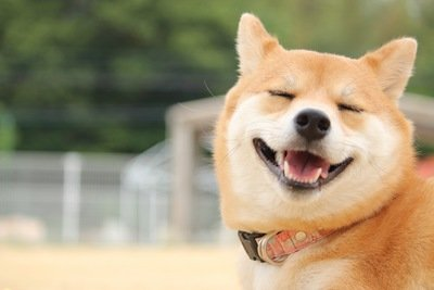 柴犬에 대한 이미지 검색결과