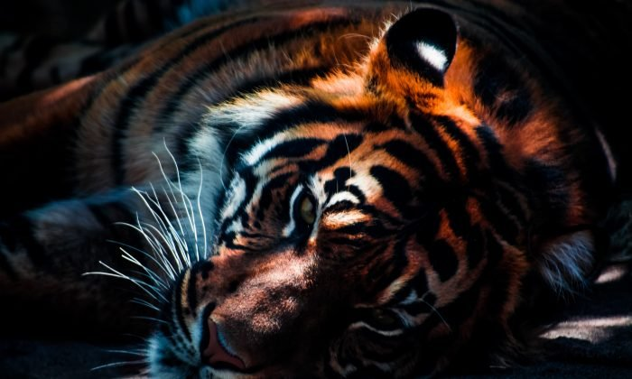tiger and lion brutally attak horse edewaa foster 17093 700x420 - Tiger and Lion Brutally Attack Horse During Circus Rehearsal
