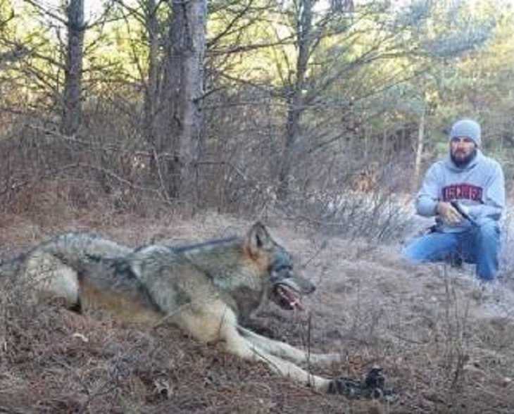 wolf2 1.jpg?resize=300,169 - A Beautiful Timber Wolf Was Trapped In The Woods And A Man Decided To Free The Wolf Without Any Fear