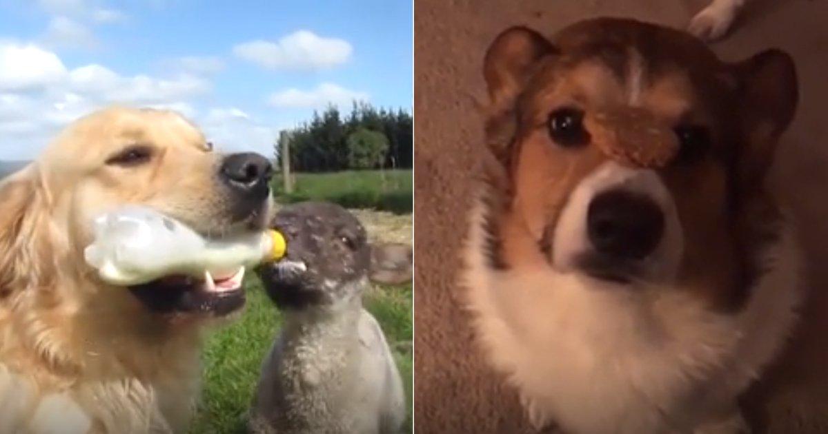 """1 188 - """"완전 개똑똑!"""" 세상에서 가장 영리한 강아지들 (영상)"""