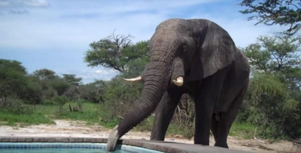 1 22 300x153 - Elephant Crashes A Family's Pool Party In Africa