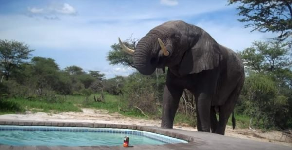 2 19 300x154 - Elephant Crashes A Family's Pool Party In Africa