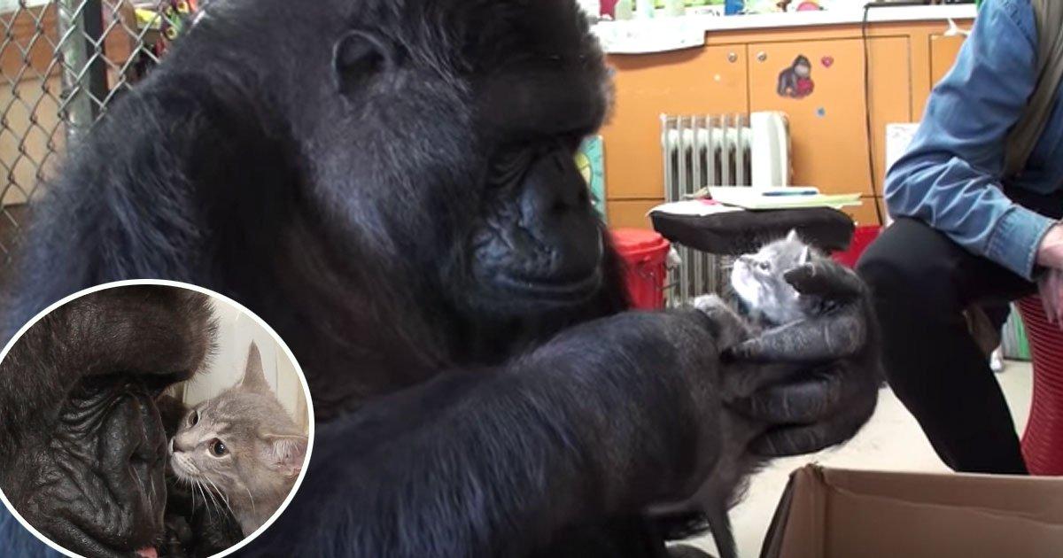 2ec8db8eb84ac 6.jpg?resize=648,365 - [Vidéo] Koko la femelle gorille est l'heureuse maman de deux chatons!