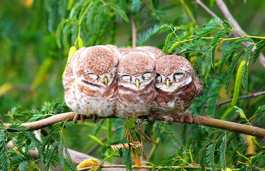 Owls Bundled Up On A Cold Morning