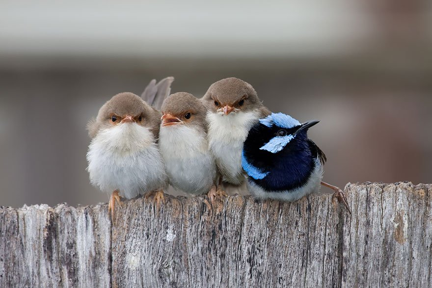 Superb Fairy Wren Chicks Huddled Together With Their Exhausted Father