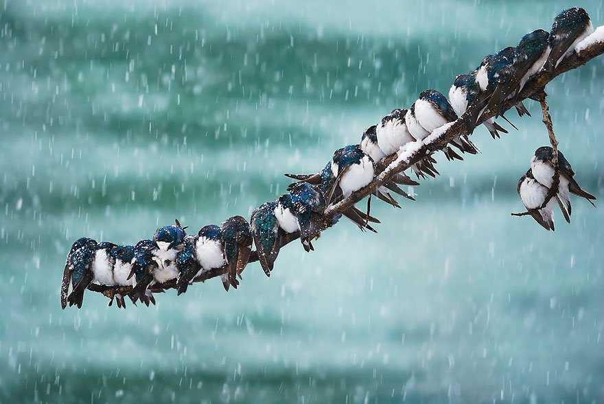 Swallows In A Spring Snowstorm