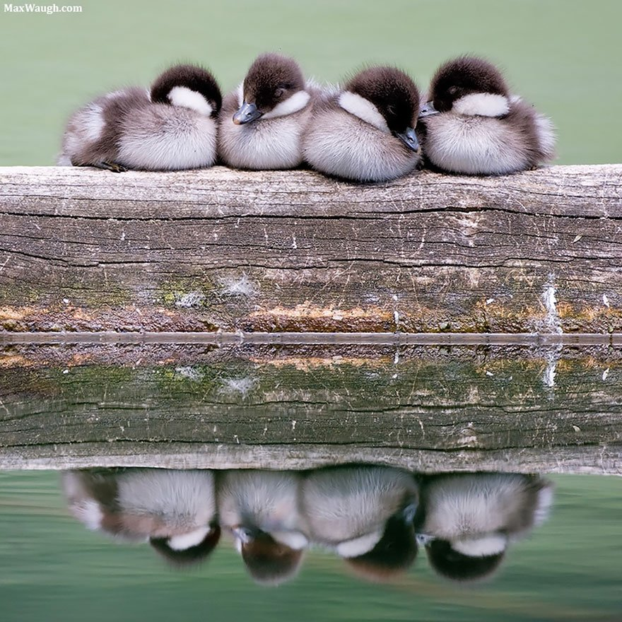 Napping Goldeneye Chicks