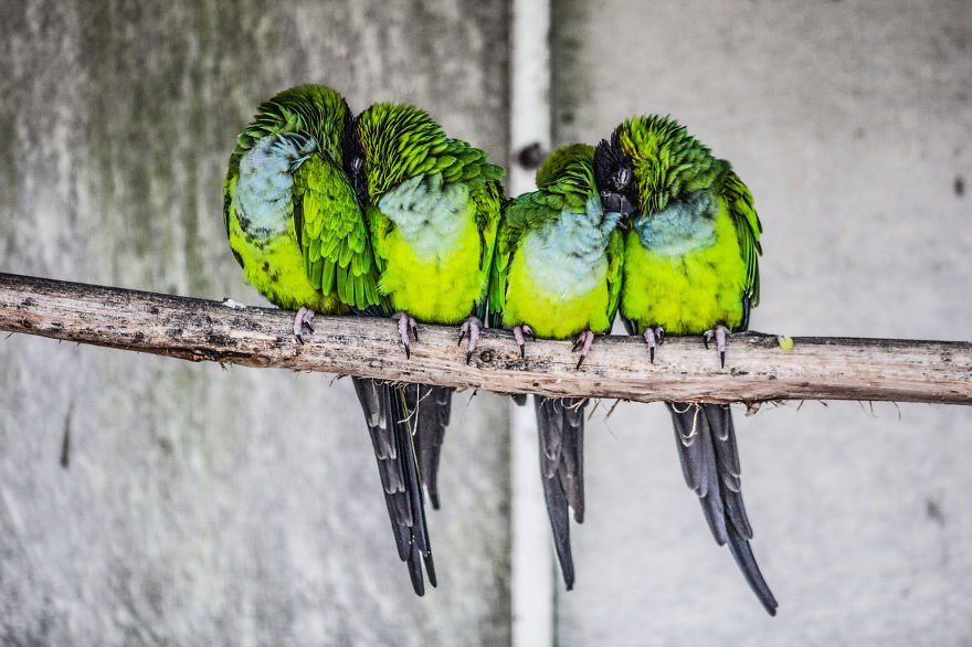 4 Birds Sleeping Together On A Stick