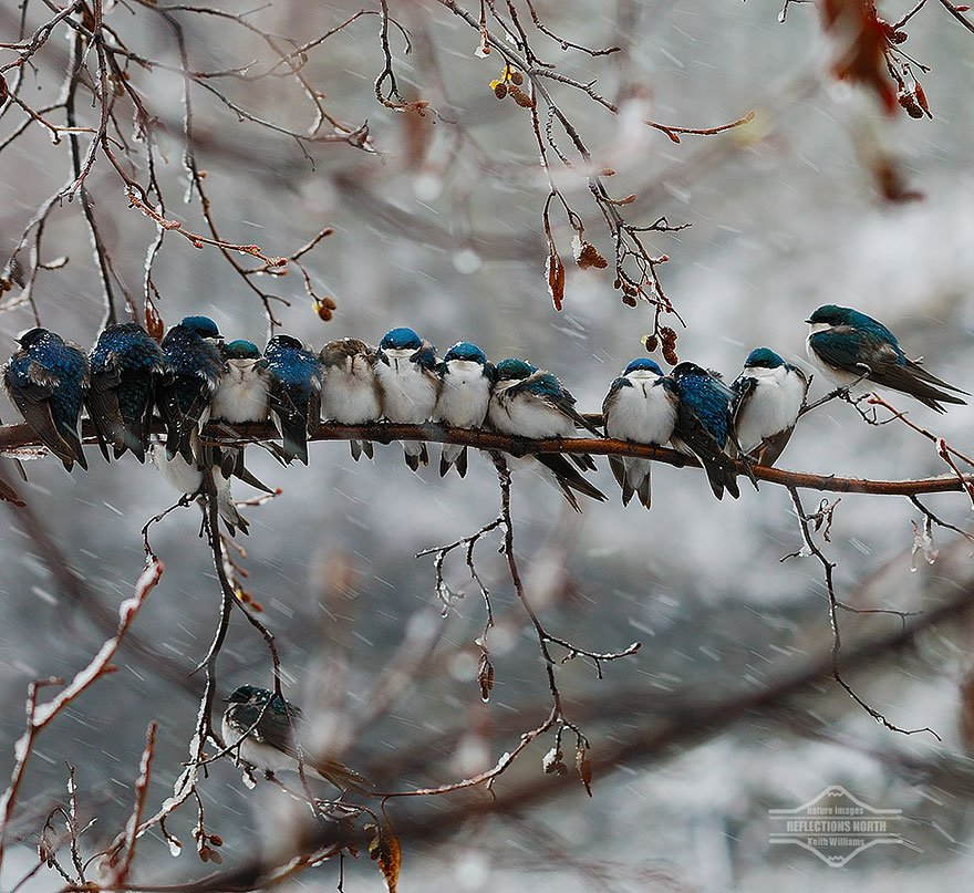 Swallows In A Snowstorm
