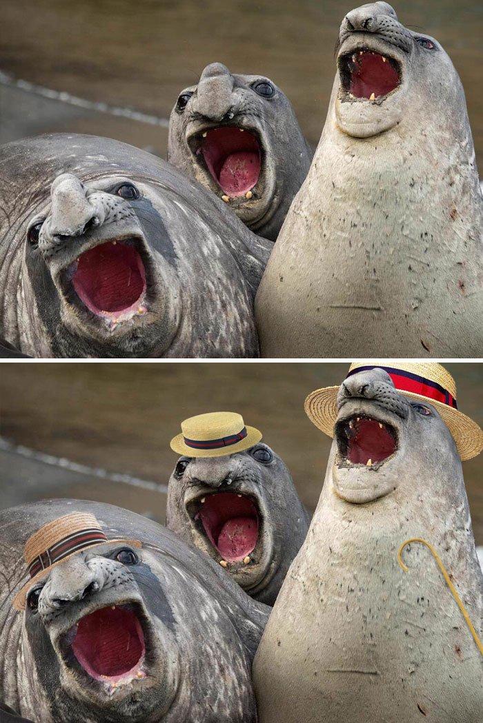 These Three Yawning Sea Lions