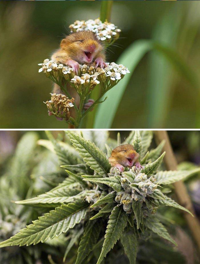 Dormouse Climbing A Yarrow Flower