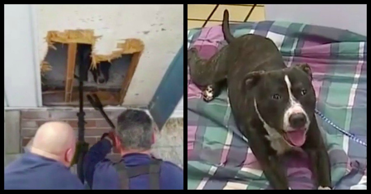 pit bull stuck in air vent rescued - Dog Was Found In The Abandoned House With His Head Stuck In An Air Vent But Local Firefighters Rescued Him