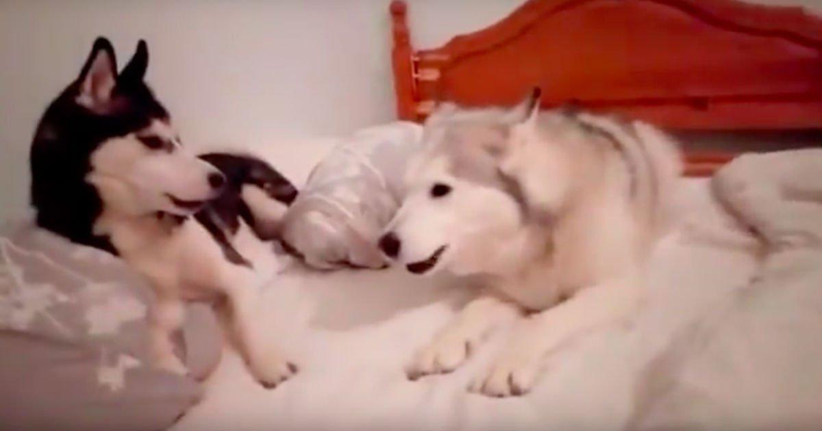 adorable-quarrel-between-two-puppies-1