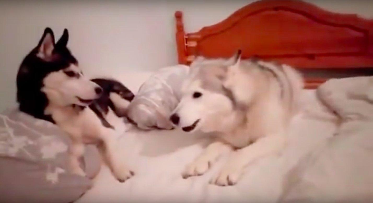 """adorable quarrel between two puppies 3 - Prepare-se para dar risada com essa """"briga"""" entre dois cachorros - Que mais parece uma discussão de casal!"""