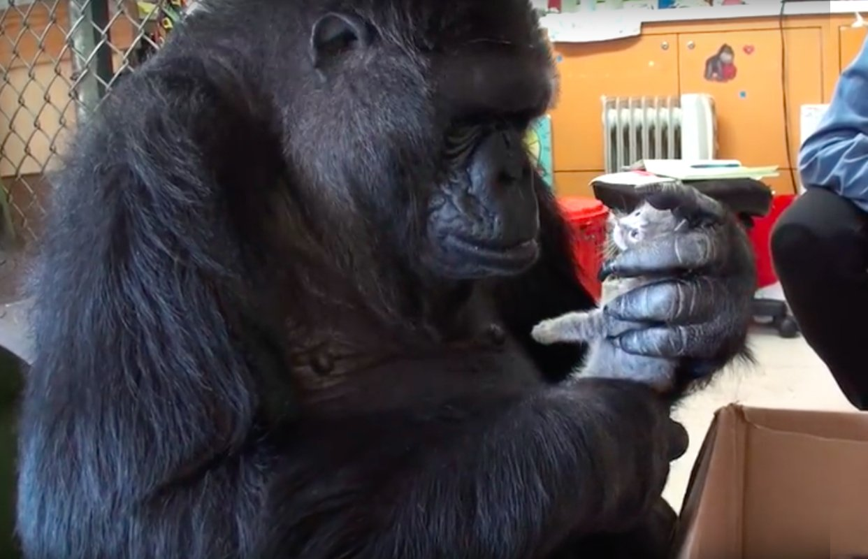 sans-gorille-nourritures-et-adopte-chatons-4