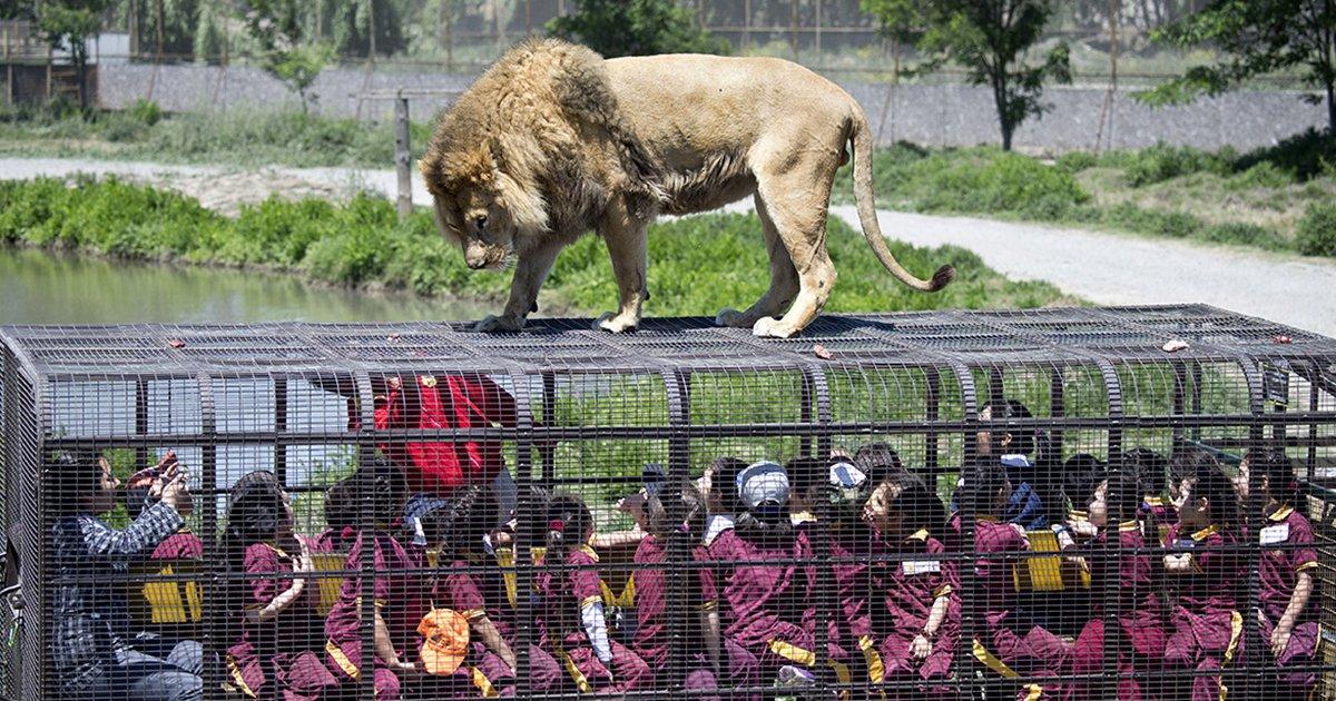 cover 47878.png?resize=1200,630 - Este zoológico es algo único, las personas están en jaulas y los animales en libertad