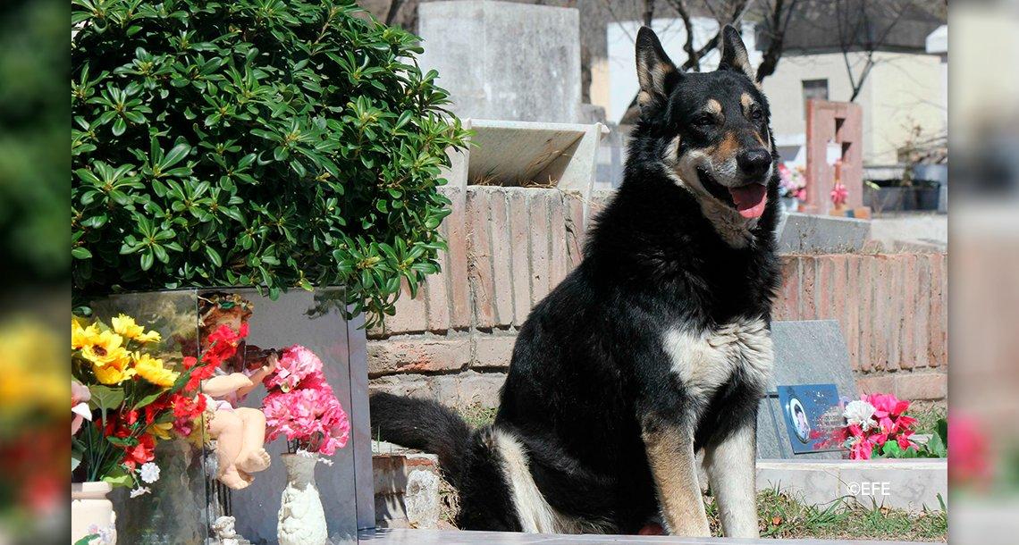 """cover 4perr - Murió """"Capitán"""", el perro que pasó más de 10 años al lado de la tumba de su amo"""