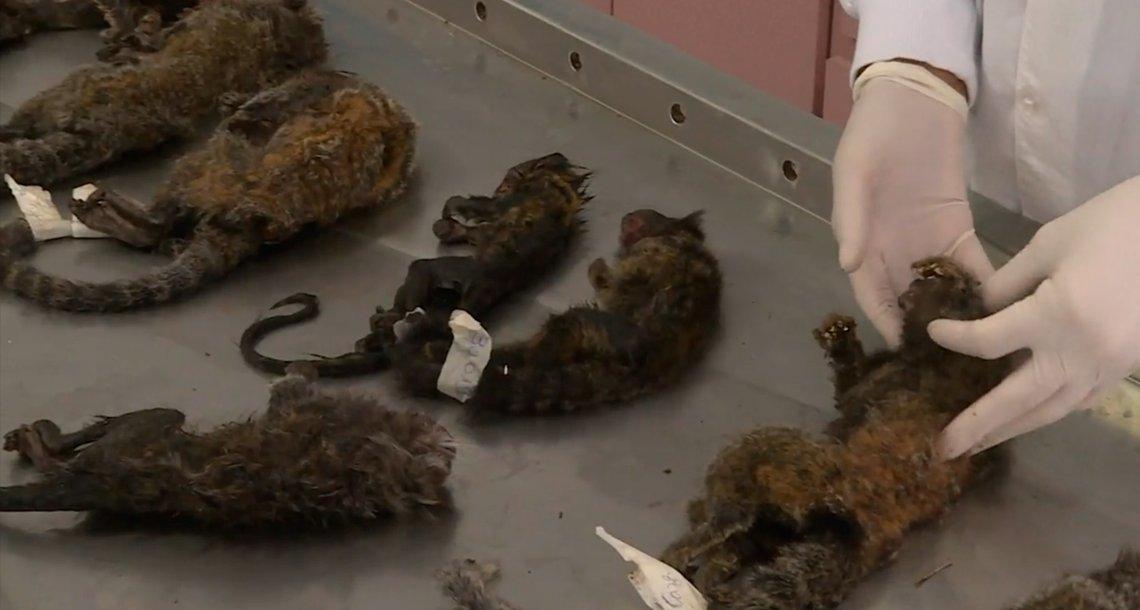cover mono.png?resize=1200,630 - Más de 200 monos asesinados por temor a la fiebre amarilla
