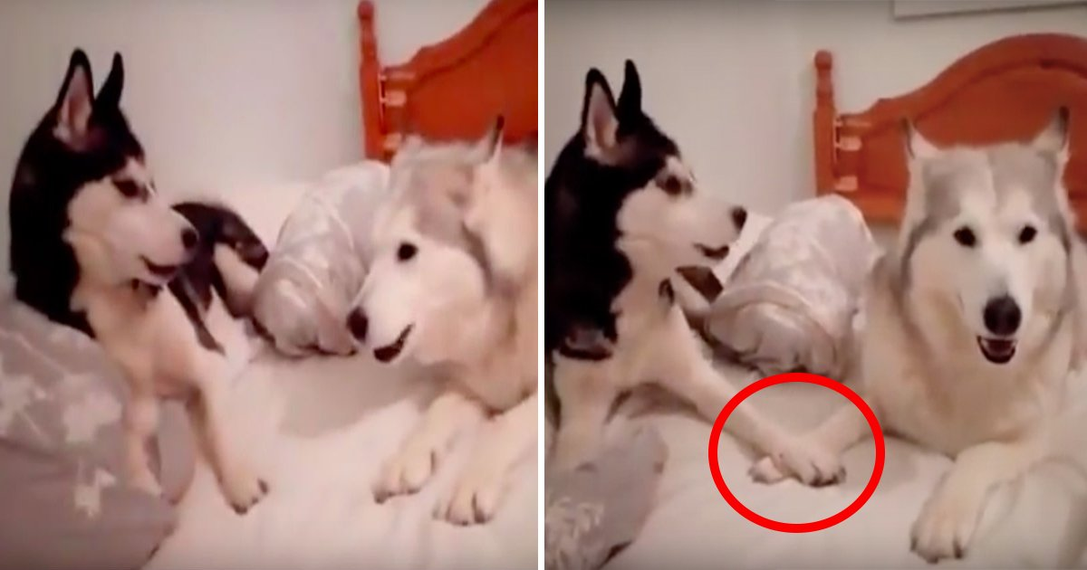 ebb984eb90b4 - Huskies Start Arguing In Bed, What the Camera Captures Makes the Whole Internet Burst Out Laughing