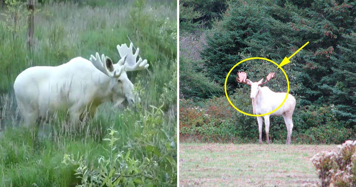 ec8db8eb84a4ec9dbc4.jpg?resize=1200,630 - Un superbe élan blanc a été filmé ! Découvrez cet animal très rare!