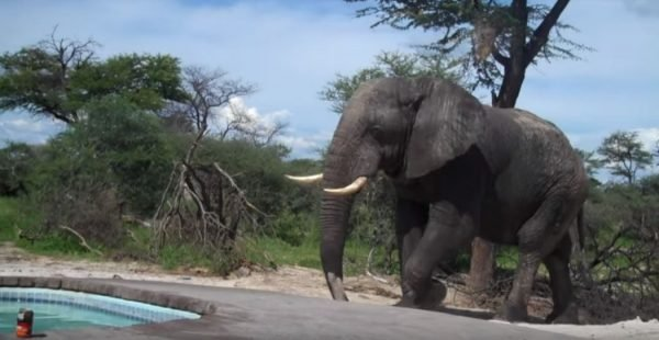 elephant - Elephant Crashes A Family's Pool Party In Africa