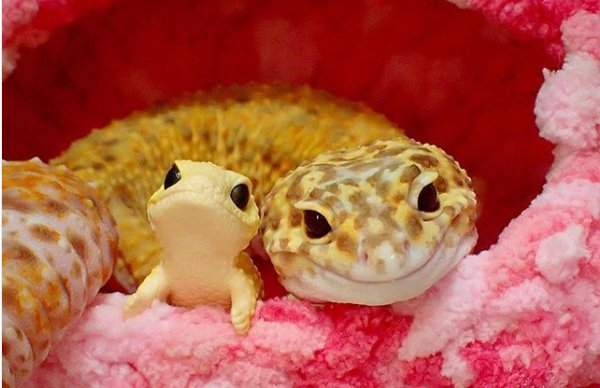 kohaku 300x194 - Cute Gecko Finds His New BFF, A Toy Gecko And Falls In Love With Him. This Story Will Definitely Make Your Day.