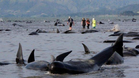 13頭のイルカが打ち上げ에 대한 이미지 검색결과