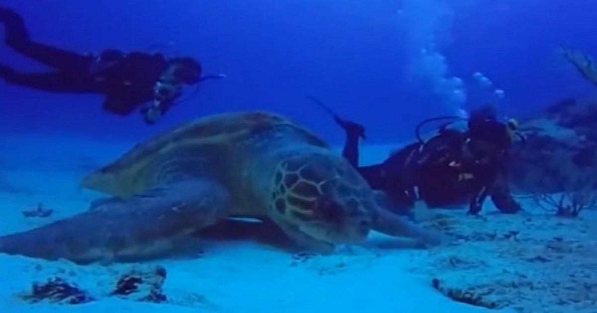 q0 6 - 다이버가 우연히 발견한 800kg넘는 초대형 장수 거북이 (영상)