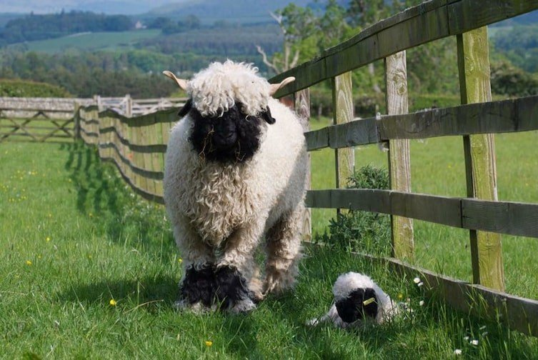 mouton10